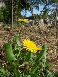 pissenlit-fleur