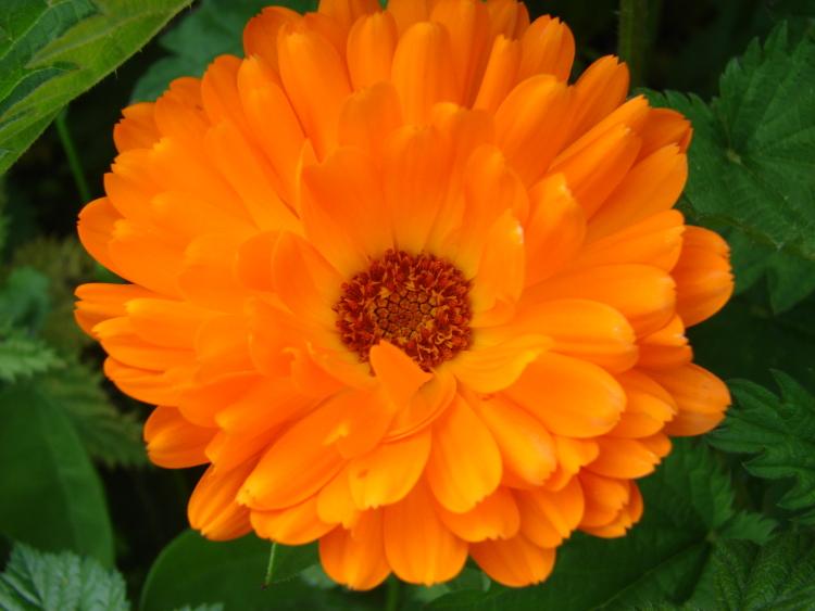 fleur-calendula-orange   Le sens de l'humus