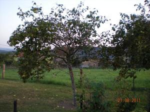 l'arbre à coing