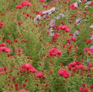 asters-rouges